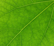 Green fresh leaf texture Stock Photo
