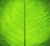 Green fresh leaf texture. Macro texture of green fresh leaf Stock Photos