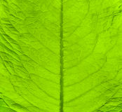 Green fresh leaf texture Stock Images