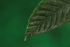 Green fresh leaf with a water drop falling. Royalty Free Stock Photography