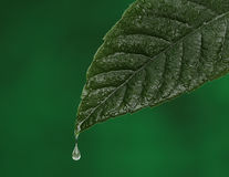 Green fresh leaf with a water drop falling. Stock Photography
