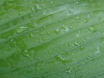 Green fresh leaf with water drop. Beauty royalty free stock photography