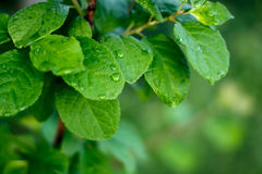 Green fresh leaf with water drops dew Stock Images