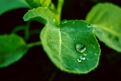 Green fresh leaf with a water drops dew Stock Image