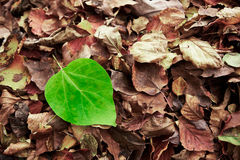 Green fresh leave on brown dry dead leaves makes a dissonance Royalty Free Stock Image