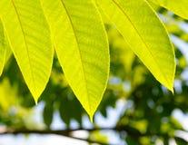 Green fresh leaves Stock Image