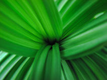 Green fresh leaves background. Green leaves rosette fresh and sound plant background stock photos