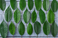 Green fresh leaves of cherry tree pattern background Stock Photos