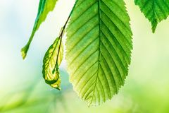 Green fresh leaves in direct sunlight. Bright green color, a leaves full of details. Shallow depth of field, blurred background stock photo