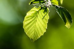 Green fresh leaves in direct sunlight. Bright green color, a leaves full of details. Shallow depth of field, blurred background royalty free stock photos