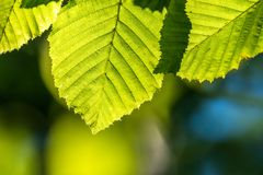 Green fresh leaves in direct sunlight. Bright green color, a leaves full of details. Shallow depth of field, blurred background royalty free stock photography