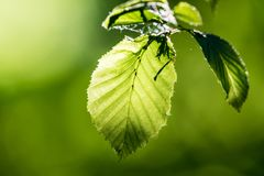 Green fresh leaves in direct sunlight. Bright green color, a leaves full of details. Shallow depth of field, blurred background stock photos