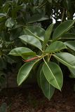 Branch of Ficus elastica tree. Green fresh leaves of Ficus elastica tree stock photo