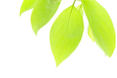 Green Fresh Leaves In Sunshine. Royalty Free Stock Images