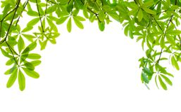 Green fresh leaves isolated Royalty Free Stock Images