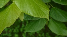 Green, fresh leaves Lime tree linden Tilia in summer. Shooting of static camera. 1080 Full HD video footage. Green, fresh leaves Lime tree linden Tilia in stock video