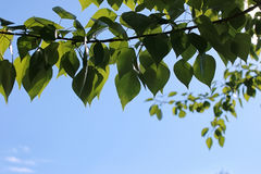 Green fresh leaves of trees on clear blue sky Royalty Free Stock Image