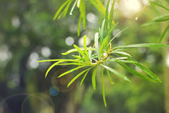 Green fresh leaves of tropical plant after the rain Royalty Free Stock Photography