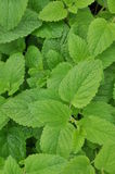 Green fresh lemon balm in the garden Royalty Free Stock Photos