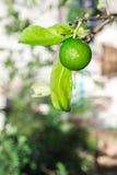 Green fresh lemon with blurred bokeh background Royalty Free Stock Photos