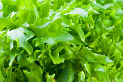 Green fresh Lettuce Stock Photos