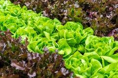 Green fresh lettuce background Stock Image