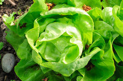 Green fresh lettuce Stock Photography
