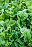 Green fresh lettuce in garden Royalty Free Stock Image