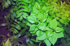 Green fresh lilac leaves in spring garden. royalty free stock photography