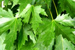 Green fresh maple leaves Royalty Free Stock Photos