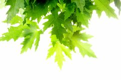 Green fresh maple leaves Stock Images