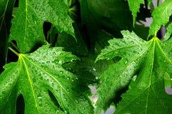 Green fresh maple leaves Stock Photos