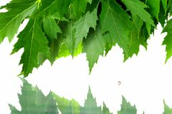 Green fresh maple leaves Royalty Free Stock Photo