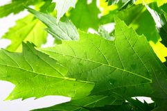 Green fresh maple leaves Royalty Free Stock Images