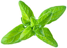 Green fresh marjoram leaves on a white. Stock Photos