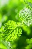 Green fresh melissa. Leaves close up stock photos