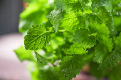 Green fresh melissa. Leaves close up stock photography