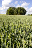 Green fresh midsummer wheat field Royalty Free Stock Photo