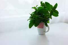 Green fresh mint in a cup Royalty Free Stock Photos