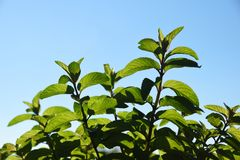 Green fresh mint mentha herb growing outside. Mint leaves on l. Ight background with copy space Stock Photo