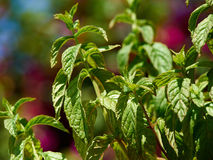 Green fresh mint plant grow in a garden Royalty Free Stock Photo