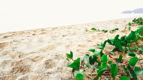 Green fresh Morning Glory with very sunny on the beach. Green fresh Morning Glory with very sunny on the sand beach royalty free stock photography