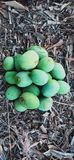 Green fresh natuaral mangoes royalty free stock images