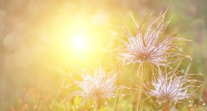Green fresh nature flowers field grass with dew drops in the morning.Beautiful bokeh on blurred background. Panoramic view stock image