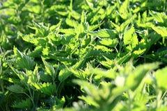 Green fresh nettles background Stock Photography