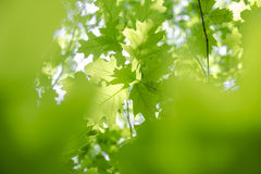 Green fresh oak leaves Royalty Free Stock Image