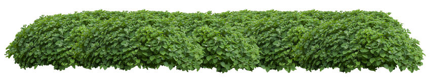 Green fresh ornamental wild hedge isolated on white ba Royalty Free Stock Photo
