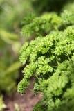 Green fresh parsley Royalty Free Stock Photo