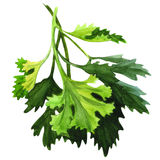 Green fresh parsley on white background Royalty Free Stock Photo