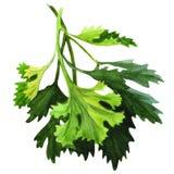 Green fresh parsley on white background Royalty Free Stock Photo